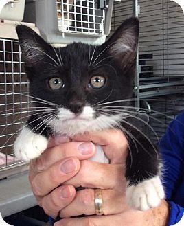 Domestic Shorthair Kitten for adoption in Breinigsville, Pennsylvania - Dave