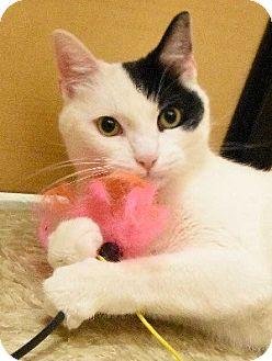 Domestic Shorthair Cat for adoption in Hillside, Illinois - Jordan- $65 - SWEET, PLAYFUL