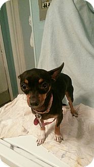 Chihuahua/Miniature Pinscher Mix Dog for adoption in Astoria, New York - Squeaker: Courtesy Post