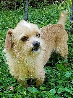 Cairn Terrier/Pug Mix Dog for adoption in Cincinnati, Ohio - Fizz