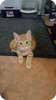 Domestic Shorthair Kitten for adoption in Mims, Florida - Davincci