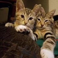 Adopt A Pet :: Kimo - Coos Bay, OR