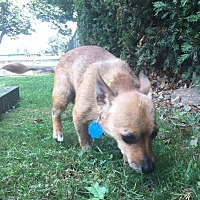 Adopt A Pet :: Roxy - Bucks County, PA