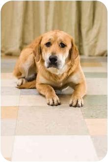 Golden Retriever/Mastiff Mix Dog for adoption in Portland, Oregon - Nana