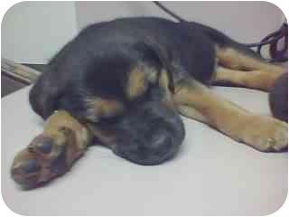 Shepherd (Unknown Type)/Labrador Retriever Mix Puppy for adoption in Westport, Connecticut - Jack