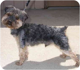 Silky Terrier/Yorkie, Yorkshire Terrier Mix Dog for adoption in Palatine, Illinois - FINN
