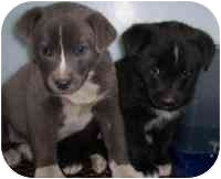Labrador Retriever Mix Puppy for adoption in Summersville, West Virginia - Fran & Franny