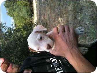 American Pit Bull Terrier/Terrier (Unknown Type, Medium) Mix Puppy for adoption in White Settlement, Texas - Miss Chevious