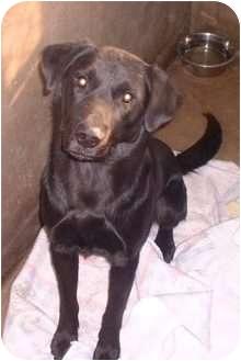 Labrador Retriever Dog for adoption in Sterling, Kansas - Bosco