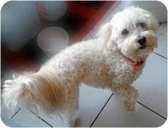 Bichon Frise Mix Dog for adoption in Brighton, Michigan - Benny
