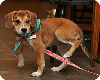 Beagle/Labrador Retriever Mix Puppy for adoption in Sparta, New Jersey - Daisy