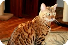 Bengal Cat for adoption in Arlington, Virginia - Midas