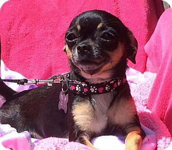 Chihuahua/Pug Mix Dog for adoption in petaluma, California - Chica