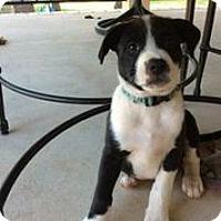 Adopt A Pet :: Mirage - Austin, TX