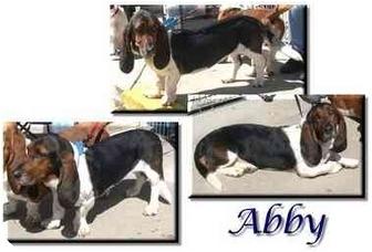 Basset Hound Dog for adoption in Marietta, Georgia - Abby
