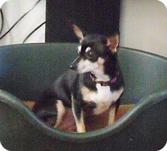Chihuahua Dog for adoption in New Smyrna beach, Florida - Shy Anne