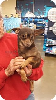 Manchester Terrier/Chihuahua Mix Dog for adoption in Fresno, California - Ruby