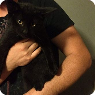 Domestic Shorthair Kitten for adoption in THORNHILL, Ontario - Robin