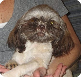 Shih Tzu Puppy for adoption in Salem, New Hampshire - Maggie
