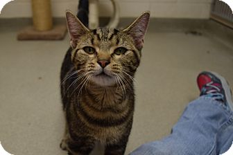 Domestic Shorthair Cat for adoption in Bucyrus, Ohio - Jake From State Farm
