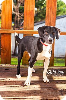 Labrador Retriever/English Pointer Mix Dog for adoption in Cincinnati, Ohio - Lawson