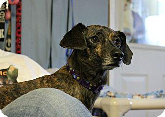 Dachshund Dog for adoption in New Richmond,, Wisconsin - Peter Parker