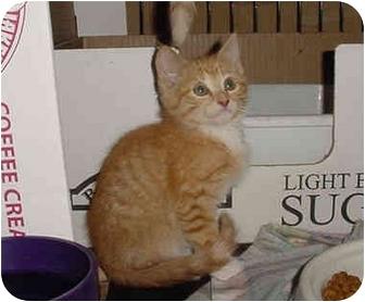 Domestic Shorthair Kitten for adoption in Overland Park, Kansas - Peter, Paul & Mary