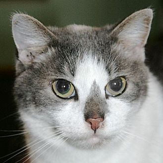 Domestic Shorthair Cat for adoption in Port Angeles, Washington - Paisley