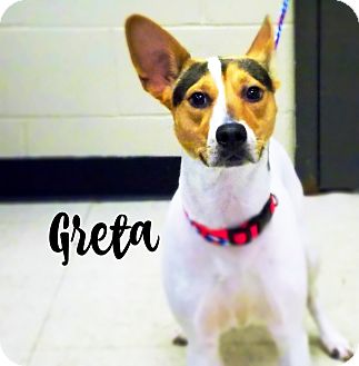 Jack Russell Terrier Mix Dog for adoption in Defiance, Ohio - Greta