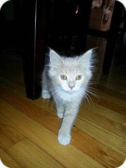 Maine Coon Kitten for adoption in Rocklin, California - Corndog & Carnival