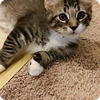 Adopt A Pet :: Hamilton Maine coon mix - Clay, NY