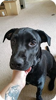 Labrador Retriever/Terrier (Unknown Type, Medium) Mix Dog for adoption in Vancouver, Washington - Jonesy
