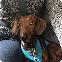 Adopt A Pet :: Shane - Decatur, GA
