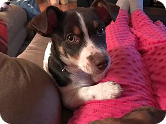 Terrier (Unknown Type, Medium)/Mixed Breed (Medium) Mix Puppy for adoption in Chattanooga, Tennessee - Kane