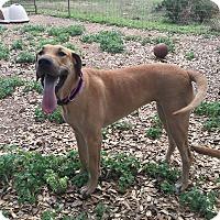 Adopt A Pet :: Afrodita - Austin, TX