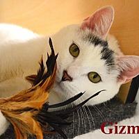 Adopt A Pet :: Gizmo - Fryeburg, ME