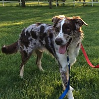 Adopt A Pet :: Rookie (treating for heartworms) - Evansville, IN