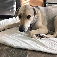 Adopt A Pet :: Bella (Shep Mix) - Denver, CO