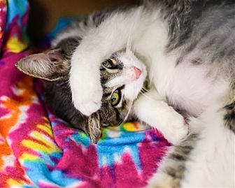 Domestic Shorthair Cat for adoption in Lake Jackson, Texas - Whiskers