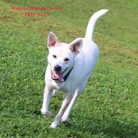 Adopt A Pet :: Freckles - Boone, NC