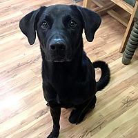 Adopt A Pet :: Gus #2 - Towson, MD