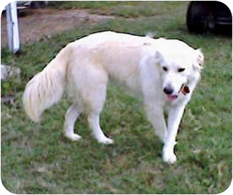 Great Pyrenees/Golden Retriever Mix Dog for adoption in Kyle, Texas - Jenny