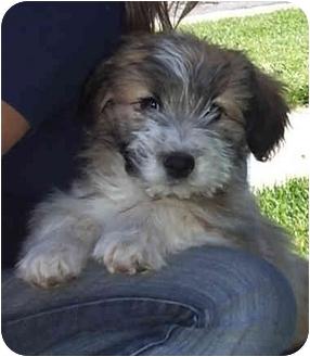 Schnauzer (Miniature) Mix Puppy for adoption in Provo, Utah - PIGGY