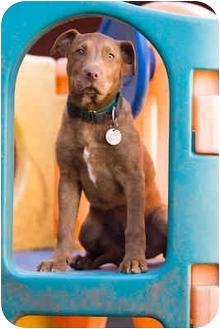 Labrador Retriever/American Staffordshire Terrier Mix Puppy for adoption in Portland, Oregon - Shelby
