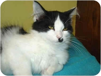 Domestic Mediumhair Kitten for adoption in Byron Center, Michigan - Morgan