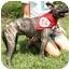 Photo 3 - Terrier (Unknown Type, Medium)/Boston Terrier Mix Dog for adoption in Athens, Georgia - Jersey