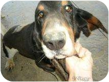 Basset Hound Dog for adoption in cedar grove, Indiana - Odie