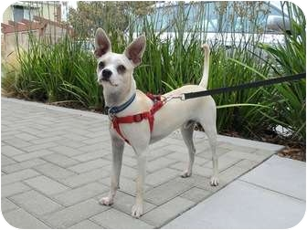 Chihuahua/Terrier (Unknown Type, Small) Mix Dog for adoption in Coronado, California - Boomer