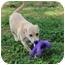 Photo 1 - Labrador Retriever Mix Puppy for adoption in Foster, Rhode Island - M&M