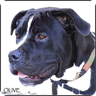 American Pit Bull Terrier Mix Dog for adoption in Vista, California - Olive